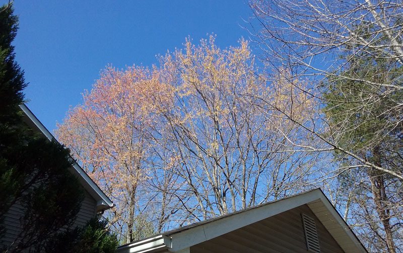 maples leafing